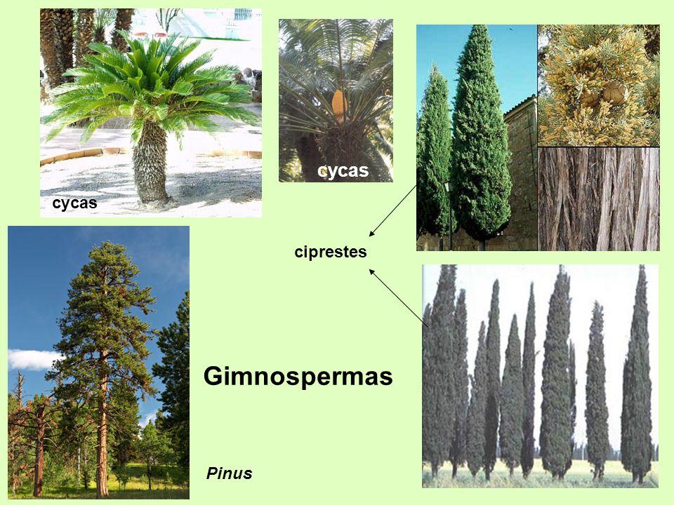 cycas ciprestes Gimnospermas Pinus cycas