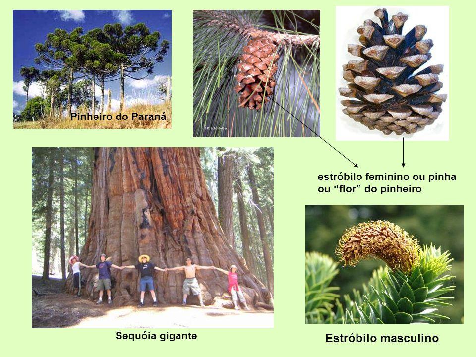 Pinheiro do Paraná estróbilo feminino ou pinha ou flor do pinheiro Sequóia gigante Estróbilo masculino