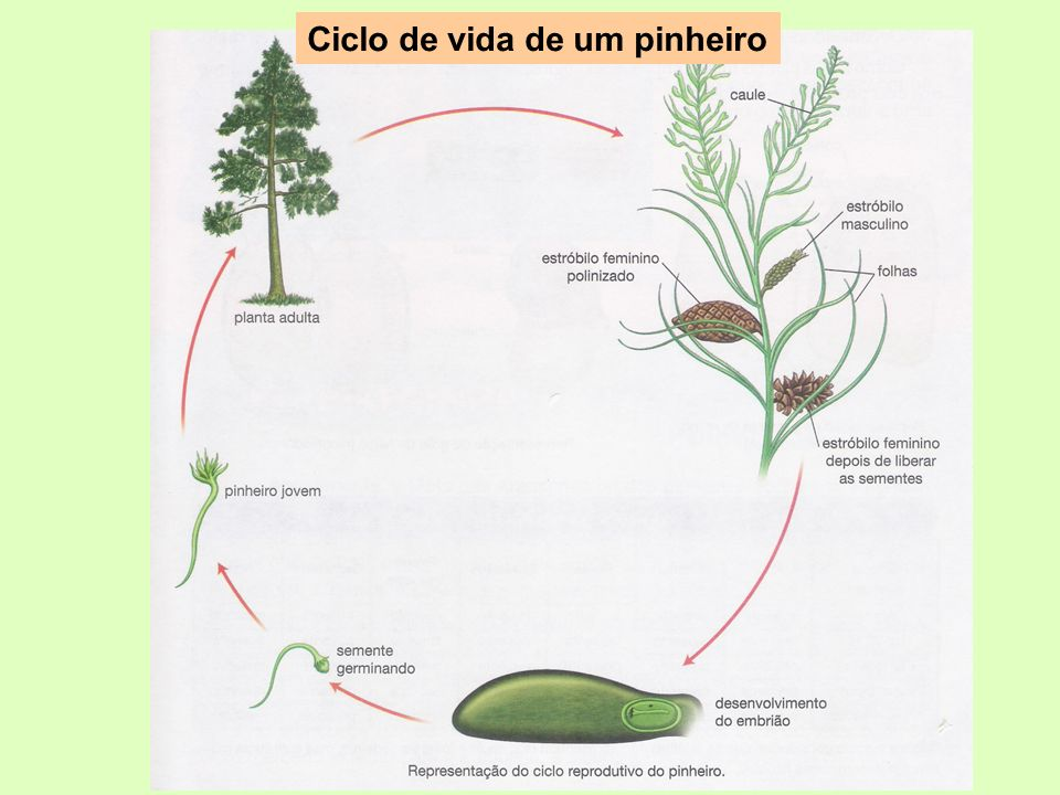 Ciclo de vida de um pinheiro
