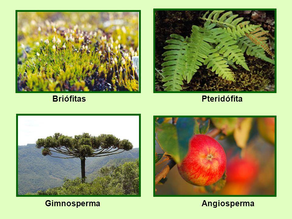 Gimnosperma Briófitas hepáticas Angiosperma Pteridófita
