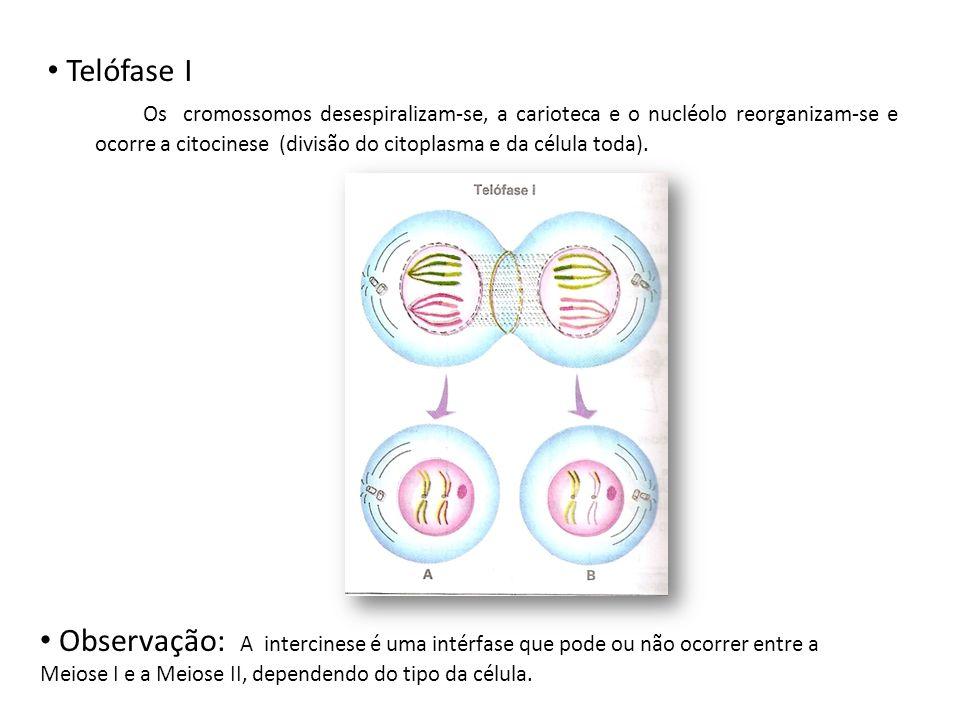 Telófase I Os cromossomos desespiralizam-se, a carioteca e o nucléolo reorganizam-se e ocorre a citocinese (divisão do citoplasma e da célula toda). O
