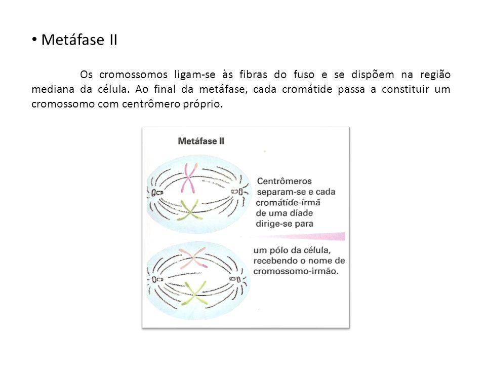 Metáfase II Os cromossomos ligam-se às fibras do fuso e se dispõem na região mediana da célula. Ao final da metáfase, cada cromátide passa a constitui