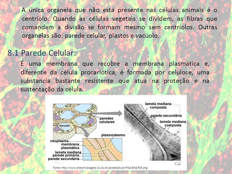 A única organela que não está presente nas células animais é o centríolo. Quando as células vegetais se dividem, as fibras que comandam a divisão se f