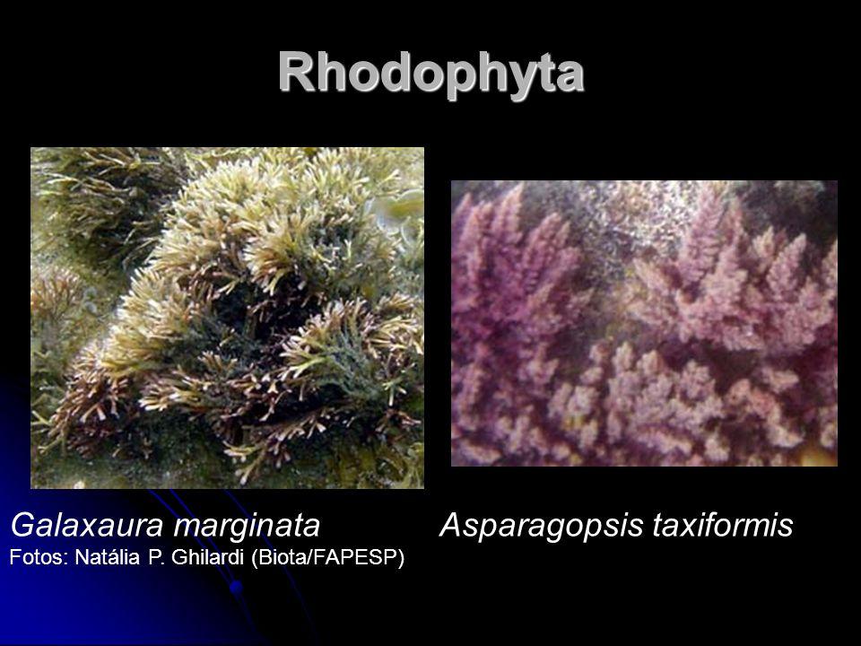 Rhodophyta Galaxaura marginata Asparagopsis taxiformis Fotos: Natália P. Ghilardi (Biota/FAPESP)
