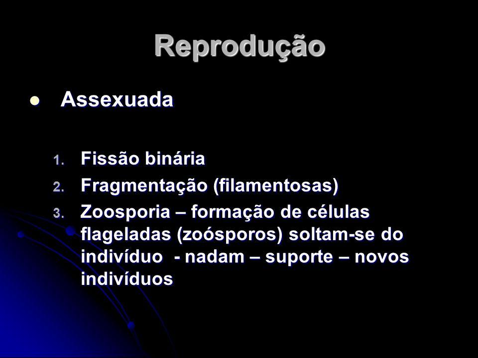 Reprodução Assexuada 1. F issão binária 2. F ragmentação (filamentosas) 3. Z oosporia – formação de células flageladas (zoósporos) soltam-se do indiví