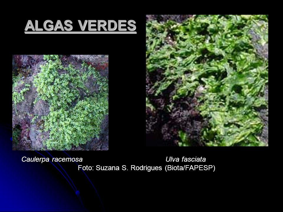 ALGAS VERDES Caulerpa racemosa Ulva fasciata Foto: Suzana S. Rodrigues (Biota/FAPESP)