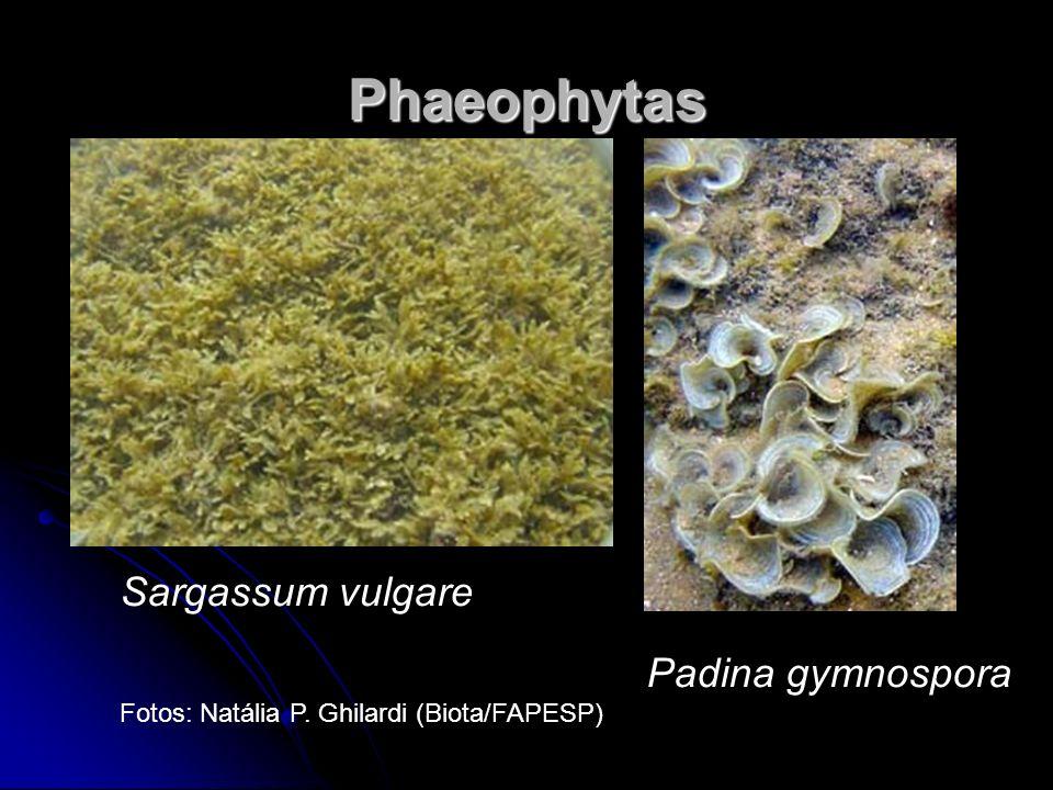 Phaeophytas Sargassum vulgare Padina gymnospora Fotos: Natália P. Ghilardi (Biota/FAPESP)