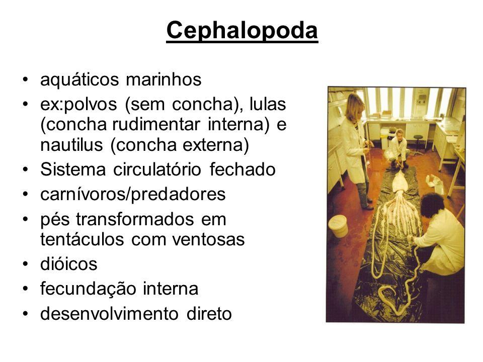Cephalopoda aquáticos marinhos ex:polvos (sem concha), lulas (concha rudimentar interna) e nautilus (concha externa) Sistema circulatório fechado carn