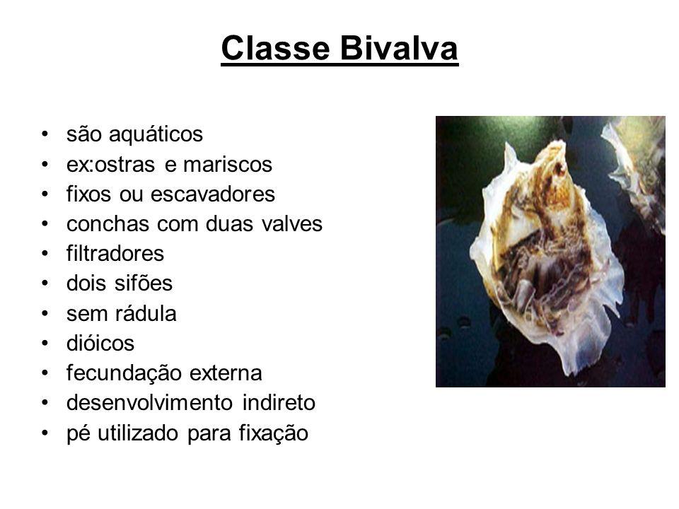 Classe Bivalva são aquáticos ex:ostras e mariscos fixos ou escavadores conchas com duas valves filtradores dois sifões sem rádula dióicos fecundação e