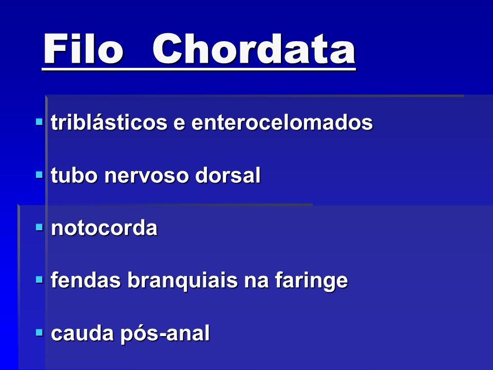 Filo Chordata triblásticos e enterocelomados triblásticos e enterocelomados tubo nervoso dorsal tubo nervoso dorsal notocorda notocorda fendas branqui