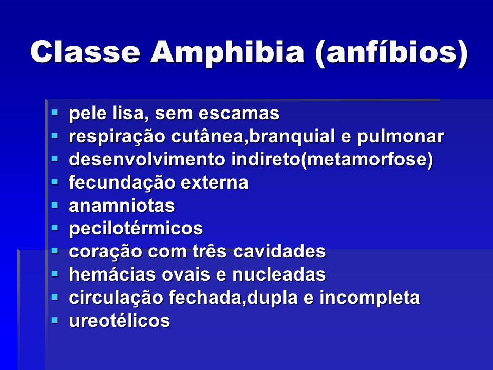 Classe Amphibia (anfíbios) pele lisa, sem escamas pele lisa, sem escamas respiração cutânea,branquial e pulmonar respiração cutânea,branquial e pulmon
