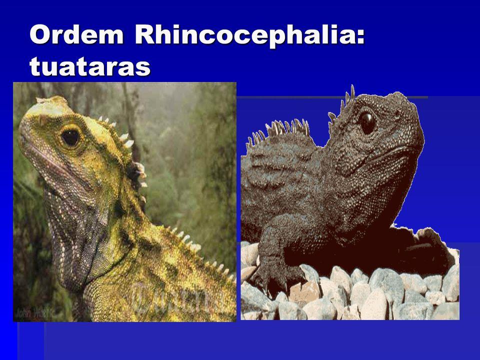 Ordem Rhincocephalia: tuataras