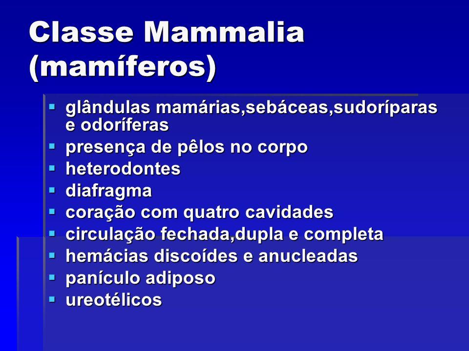 Classe Mammalia (mamíferos) glândulas mamárias,sebáceas,sudoríparas e odoríferas glândulas mamárias,sebáceas,sudoríparas e odoríferas presença de pêlo