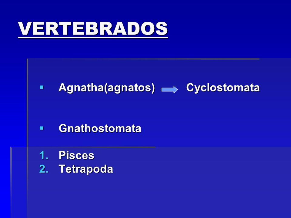 Ordem urodelos: salamandra e tritão