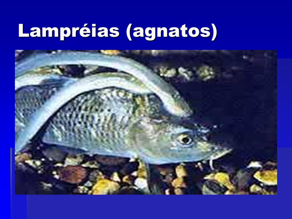 Lampréias (agnatos)