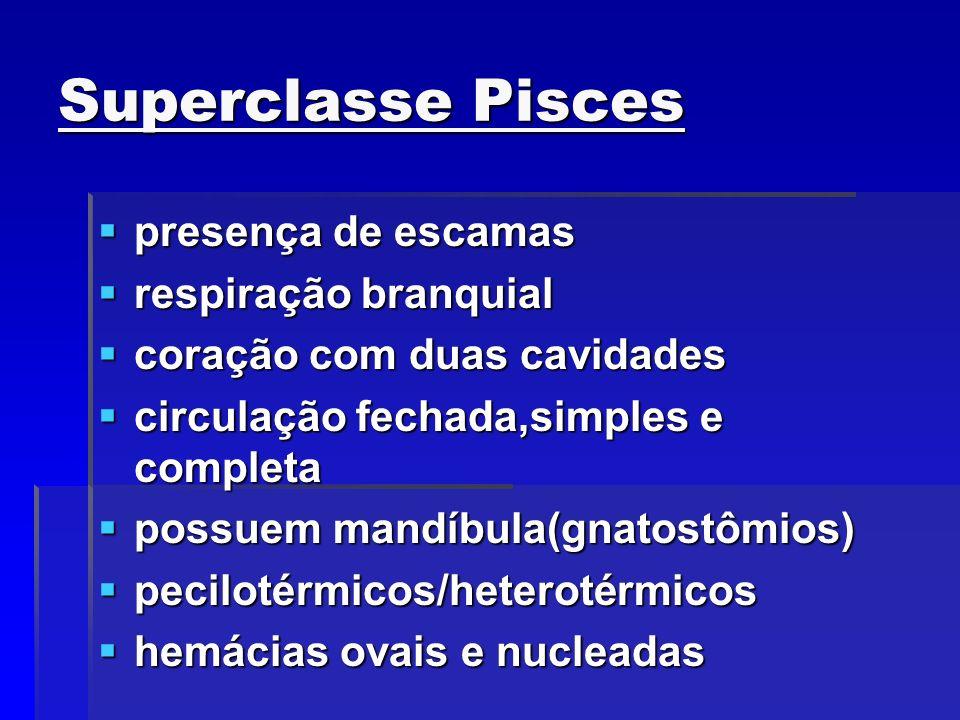 Superclasse Pisces presença de escamas presença de escamas respiração branquial respiração branquial coração com duas cavidades coração com duas cavid