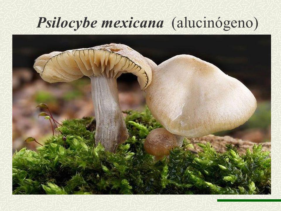 Psilocybe mexicana (alucinógeno)