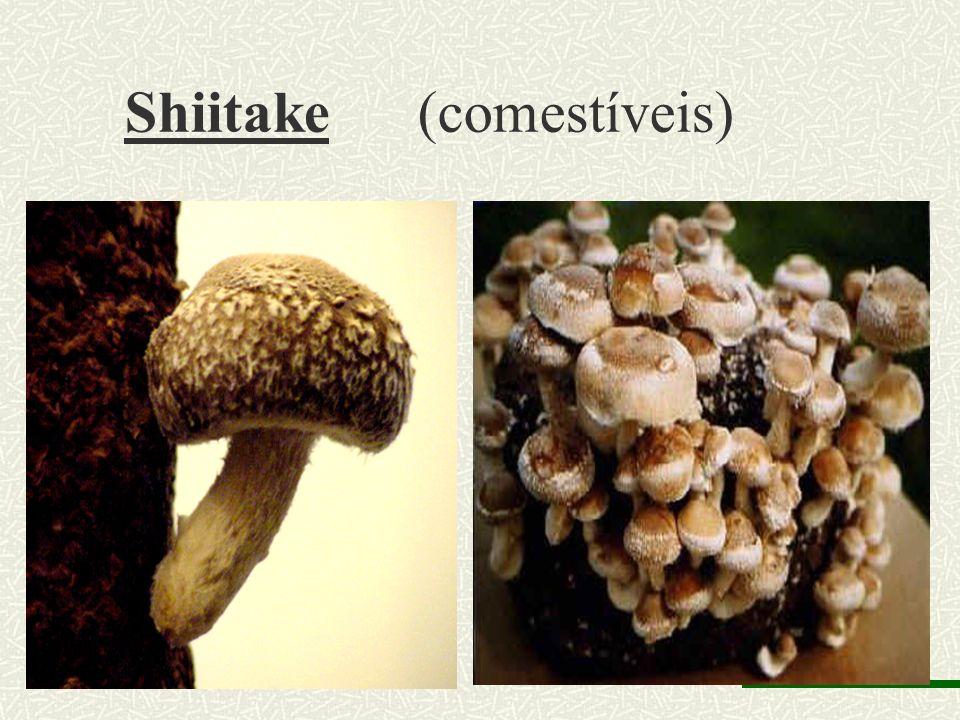 Shiitake (comestíveis)