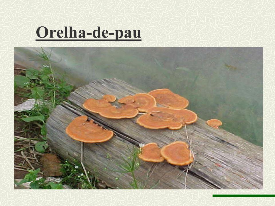 Agaricus campestris (champignon)