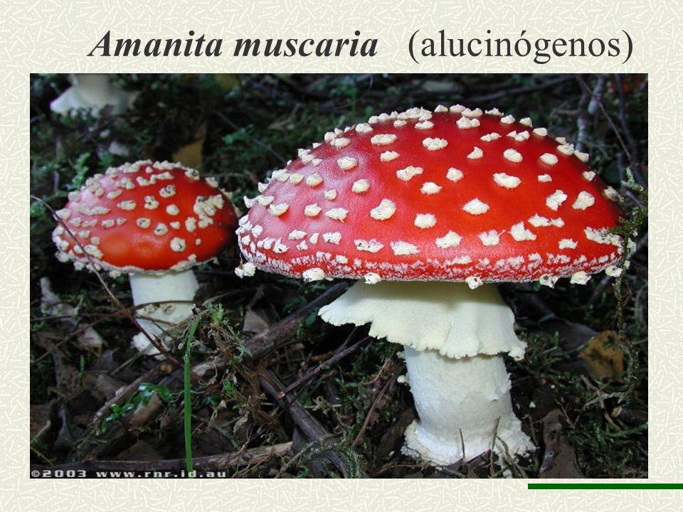 Amanita muscaria (alucinógenos)