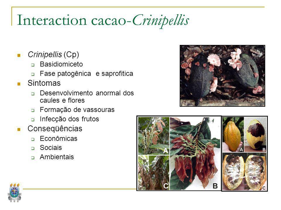 Interaction cacao-Crinipellis Crinipellis (Cp) Basidiomiceto Fase patogênica e saprofitica Sintomas Desenvolvimento anormal dos caules e flores Formaç