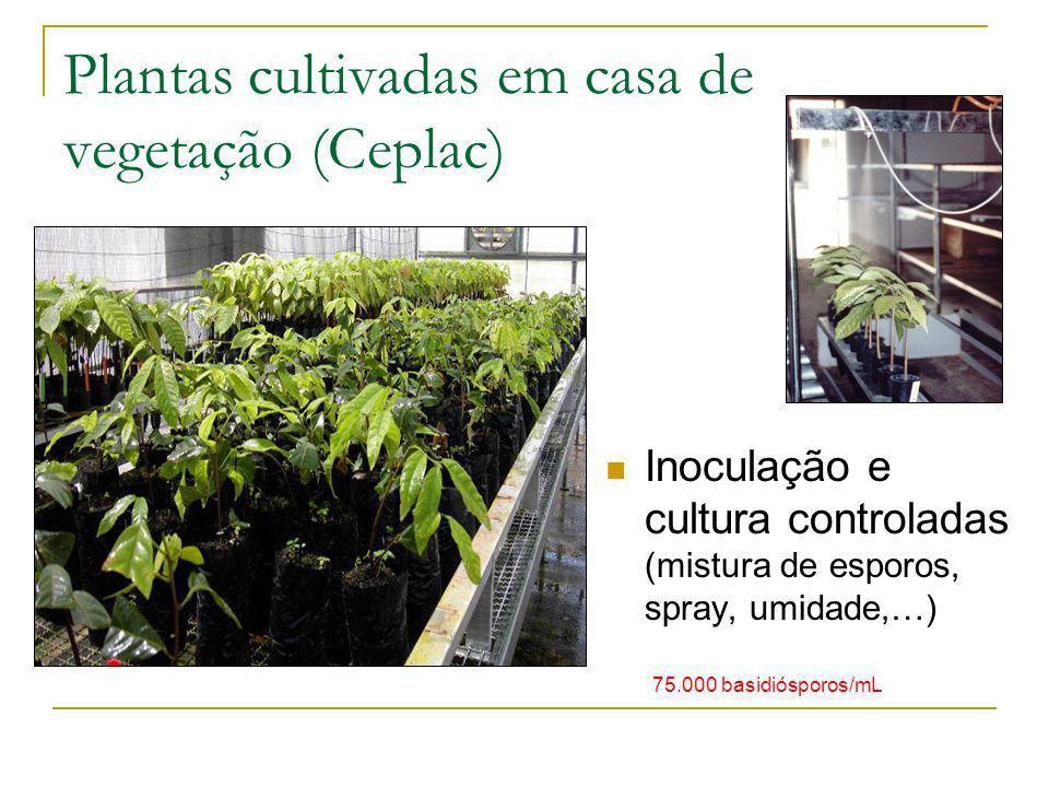 Plantas cultivadas em casa de vegetação (Ceplac) Inoculação e cultura controladas (mistura de esporos, spray, umidade,…) 75.000 basidiósporos/mL