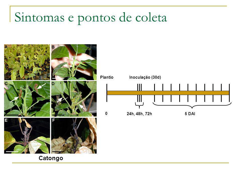 Sintomas e pontos de coleta Catongo Plantio 24h, 48h, 72h 5 DAI Inoculação (30d) 0