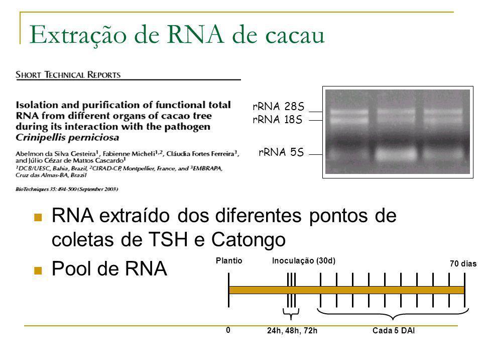 Extração de RNA de cacau rRNA 5S rRNA 18S rRNA 28S RNA extraído dos diferentes pontos de coletas de TSH e Catongo Pool de RNA 24h, 48h, 72hCada 5 DAI