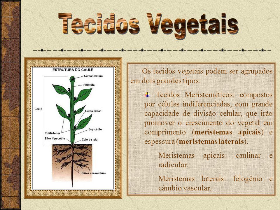 Os tecidos vegetais podem ser agrupados em dois grandes tipos: Tecidos Meristemáticos: compostos por células indiferenciadas, com grande capacidade de