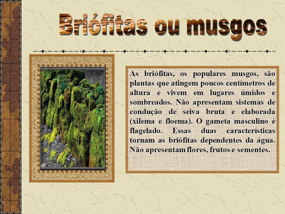 As briófitas, os populares musgos, são plantas que atingem poucos centímetros de altura e vivem em lugares úmidos e sombreados. Não apresentam sistema