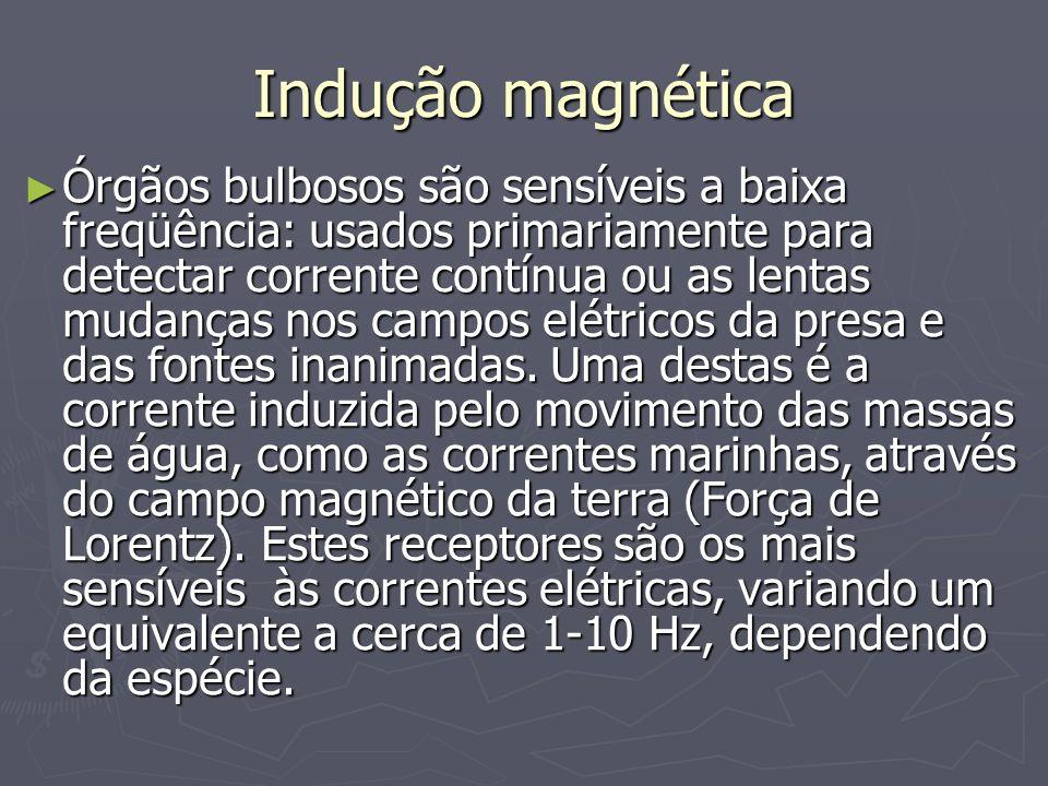 Indução magnética Órgãos bulbosos são sensíveis a baixa freqüência: usados primariamente para detectar corrente contínua ou as lentas mudanças nos cam
