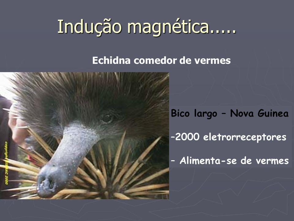 Indução magnética..... Bico largo – Nova Guinea –2000 eletrorreceptores – Alimenta-se de vermes Echidna comedor de vermes