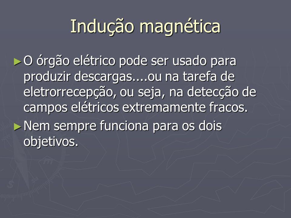 Indução magnética Família Gymnotoidei (peixes com forma de agulha) : todos possuem órgão elétrico para alta descarga e outro de descarga baixa para eletrocomunicação e eletrolocalização Família Gymnotoidei (peixes com forma de agulha) : todos possuem órgão elétrico para alta descarga e outro de descarga baixa para eletrocomunicação e eletrolocalização Eletrophorus electricus Gymnotus carapo