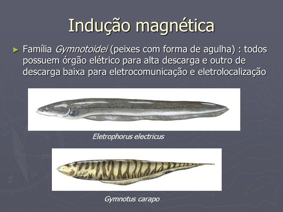 Indução magnética Família Gymnotoidei (peixes com forma de agulha) : todos possuem órgão elétrico para alta descarga e outro de descarga baixa para el