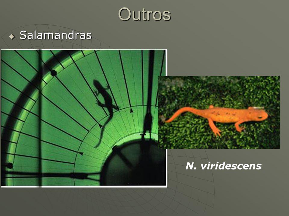 Outros Salamandras Salamandras N. viridescens