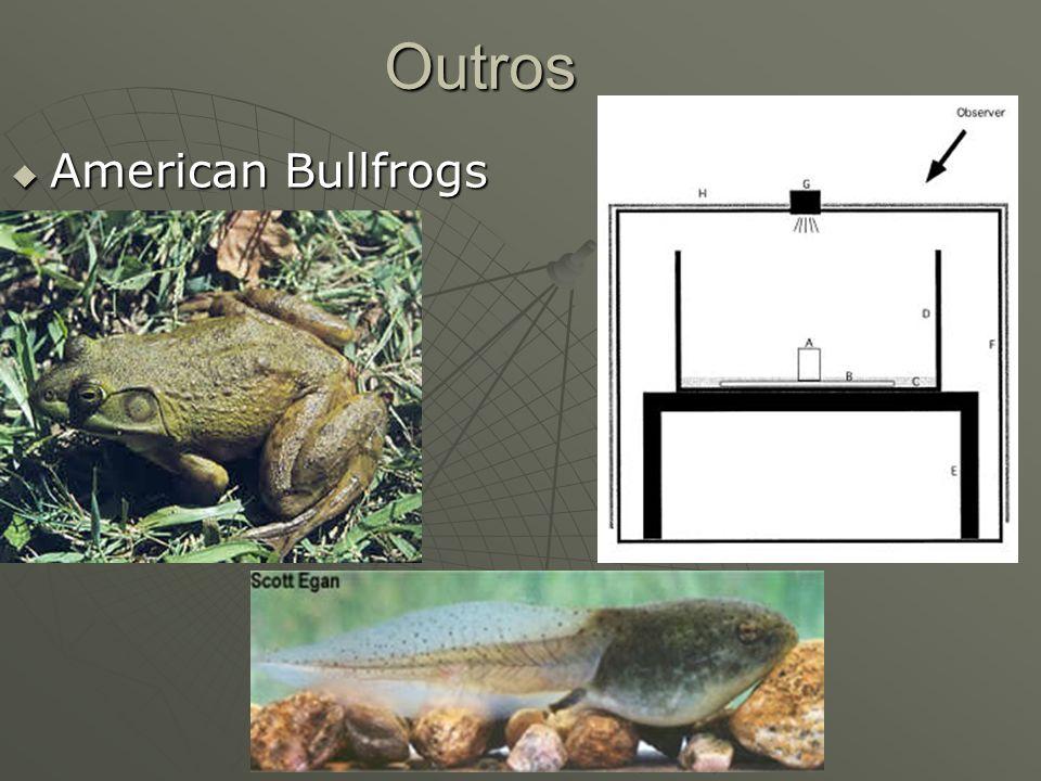 Outros American Bullfrogs American Bullfrogs