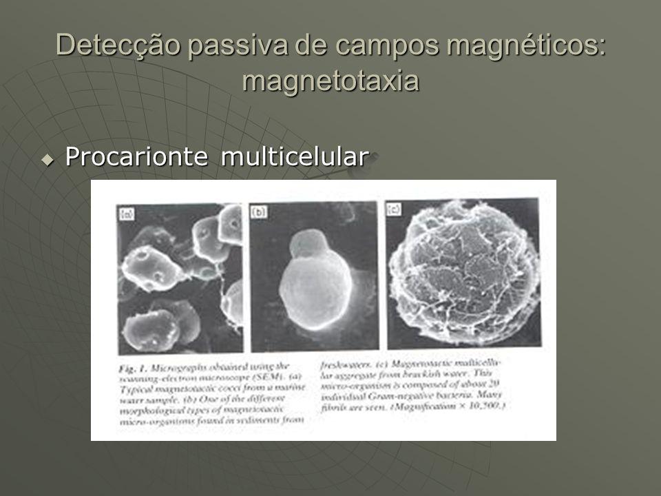Detecção passiva de campos magnéticos: magnetotaxia Procarionte multicelular Procarionte multicelular