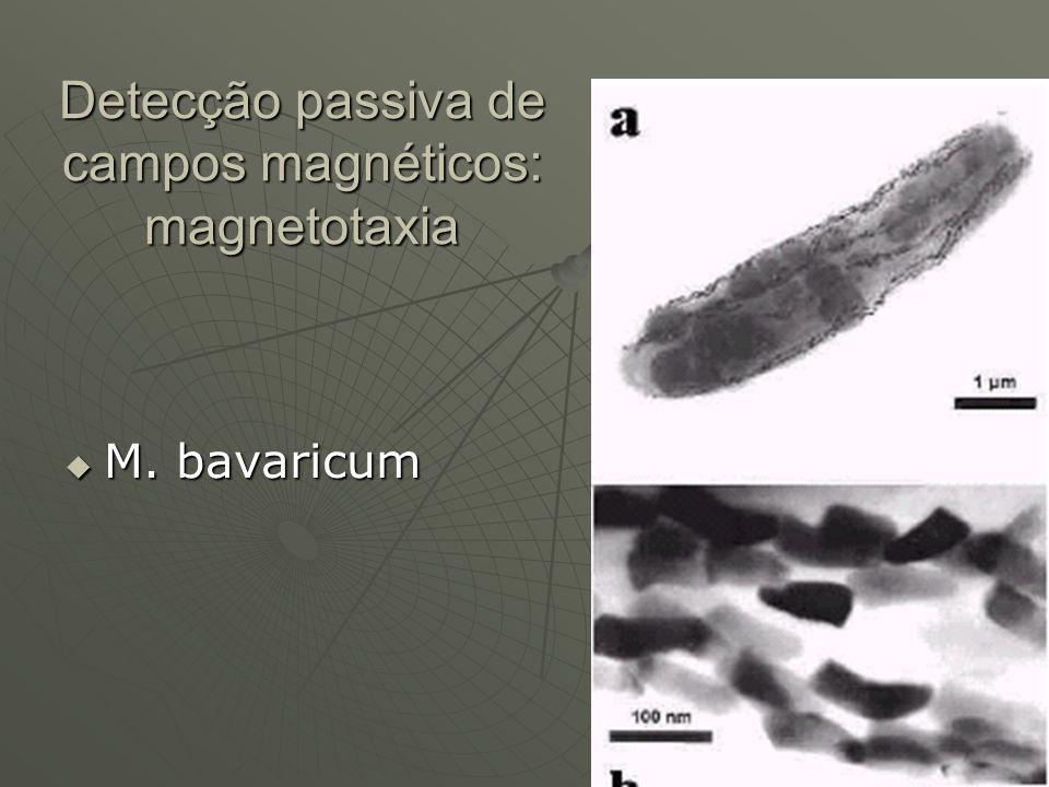 Detecção passiva de campos magnéticos: magnetotaxia M. bavaricum M. bavaricum