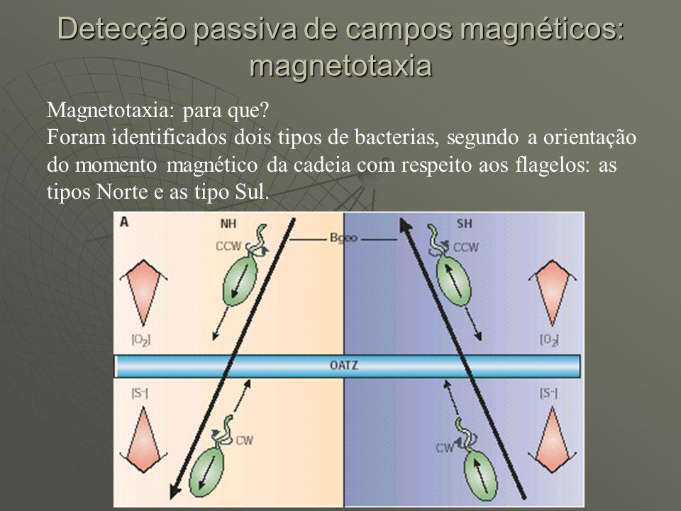 Magnetotaxia: para que? Foram identificados dois tipos de bacterias, segundo a orientação do momento magnético da cadeia com respeito aos flagelos: as