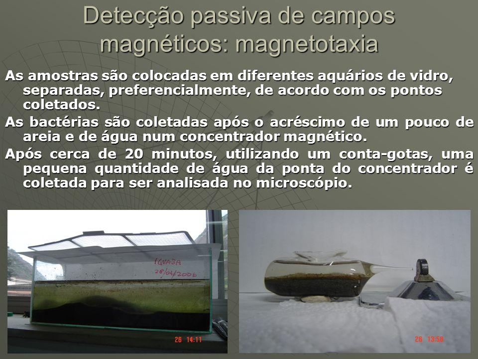 Detecção passiva de campos magnéticos: magnetotaxia As amostras são colocadas em diferentes aquários de vidro, separadas, preferencialmente, de acordo