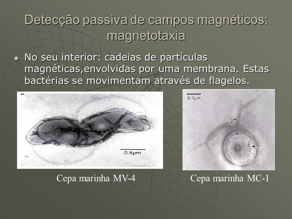 Detecção passiva de campos magnéticos: magnetotaxia No seu interior: cadeias de partículas magnéticas,envolvidas por uma membrana. Estas bactérias se