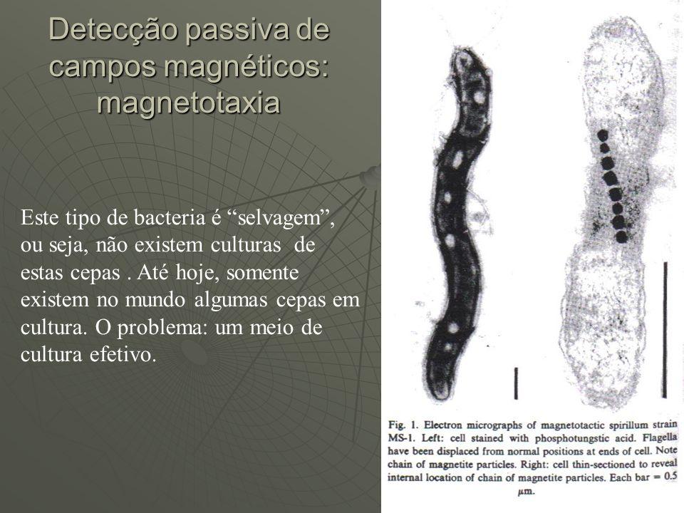 Detecção passiva de campos magnéticos: magnetotaxia Este tipo de bacteria é selvagem, ou seja, não existem culturas de estas cepas. Até hoje, somente