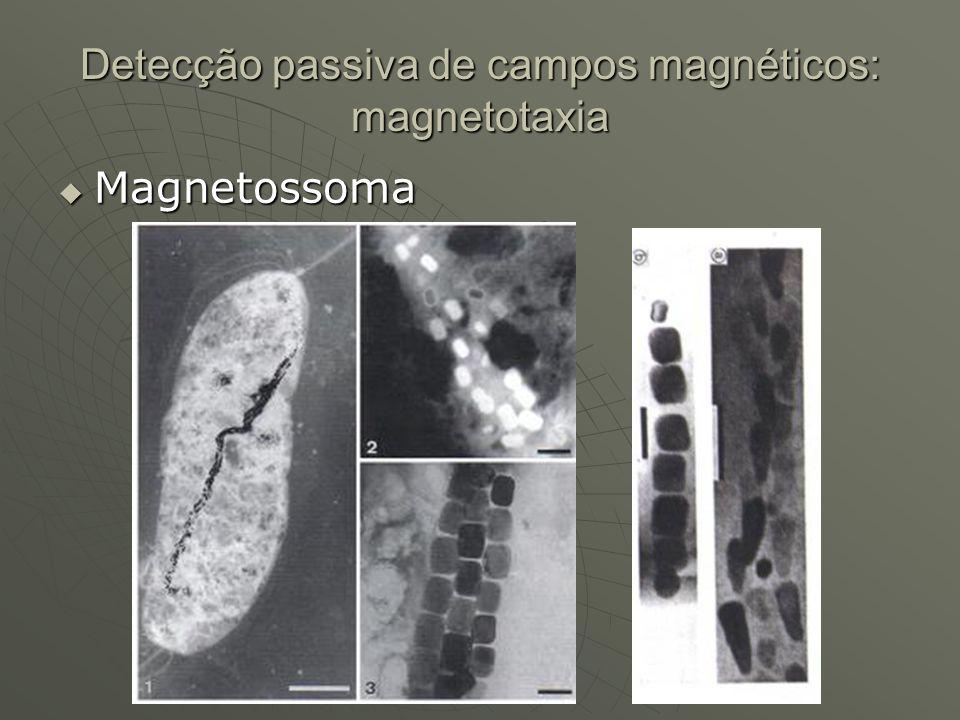 Detecção passiva de campos magnéticos: magnetotaxia Magnetossoma Magnetossoma
