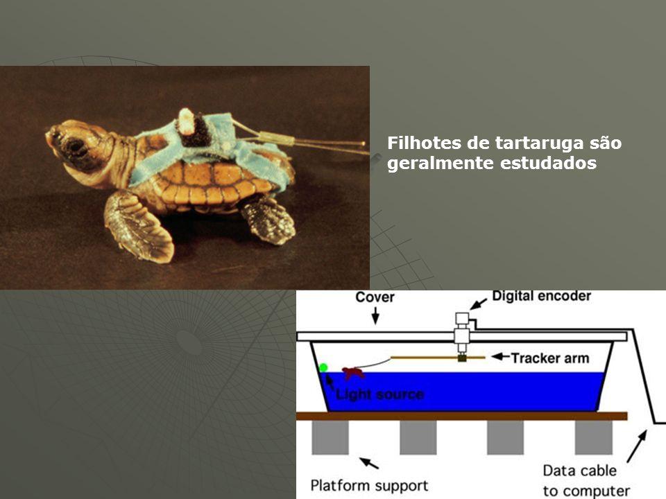 Filhotes de tartaruga são geralmente estudados