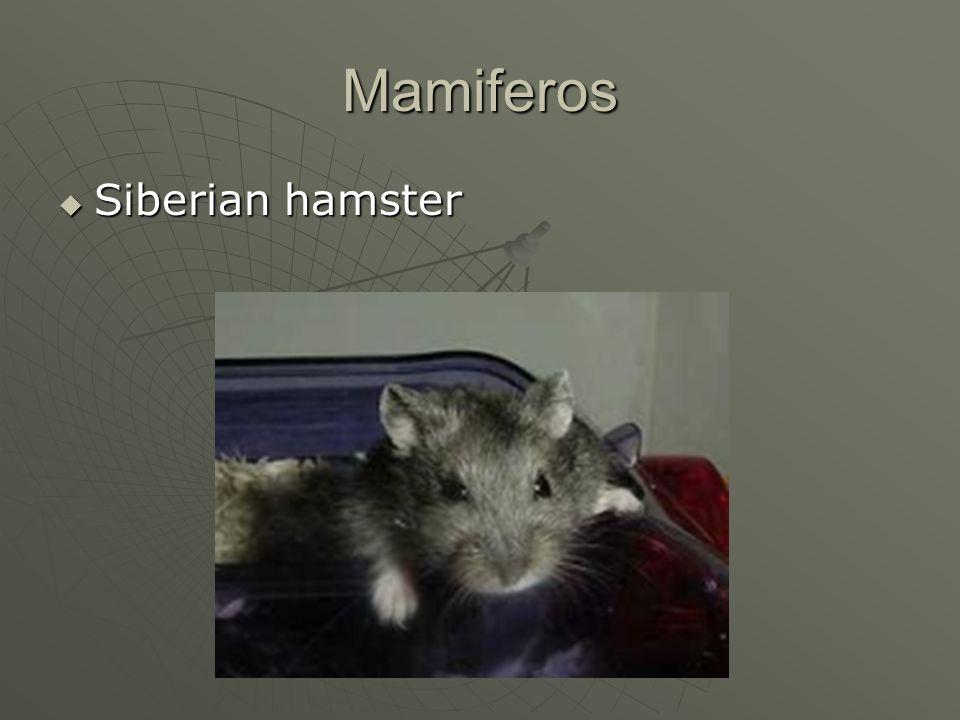 Mamiferos Siberian hamster Siberian hamster