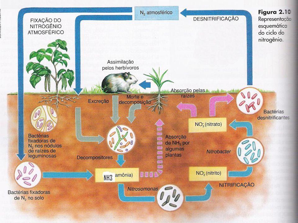 Participam do ciclo do nitrogênio quatro categorias de bactérias.bactérias fixadoras: que transformam o nitrogênio(N 2 ) do ar em amônia (NH 3 );.bactérias fixadoras: que transformam o nitrogênio(N 2 ) do ar em amônia (NH 3 );.