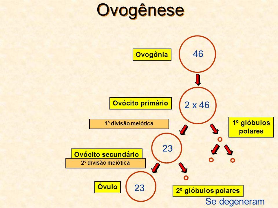Ovogênese 46 Ovogônia Ovócito secundário 1º glóbulos polares 23 Óvulo 2º glóbulos polares Ovócito primário 2 x 46 23 Se degeneram 1º divisão meiótica