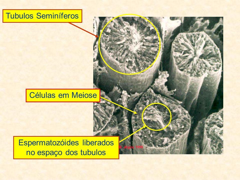 Tubulos Seminíferos Espermatozóides liberados no espaço dos tubulos Células em Meiose