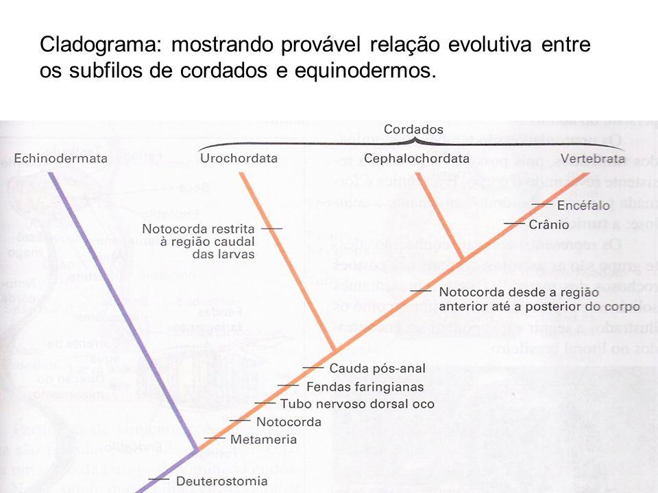 Cladograma: mostrando provável relação evolutiva entre os subfilos de cordados e equinodermos.