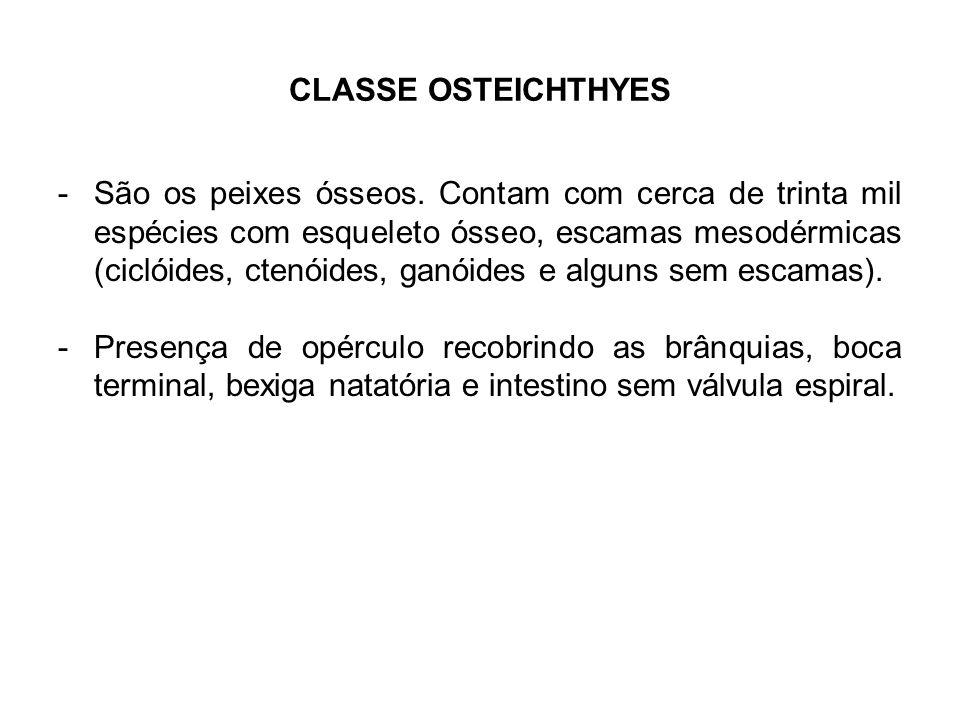 CLASSE OSTEICHTHYES -São os peixes ósseos. Contam com cerca de trinta mil espécies com esqueleto ósseo, escamas mesodérmicas (ciclóides, ctenóides, ga